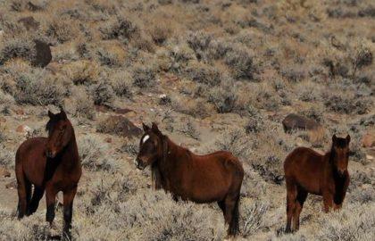 drought_horses
