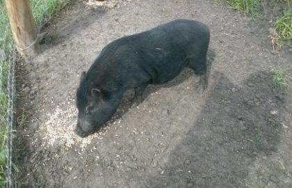 Wilbur (2)