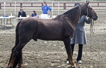 flatshod_tennessee-walking-horse