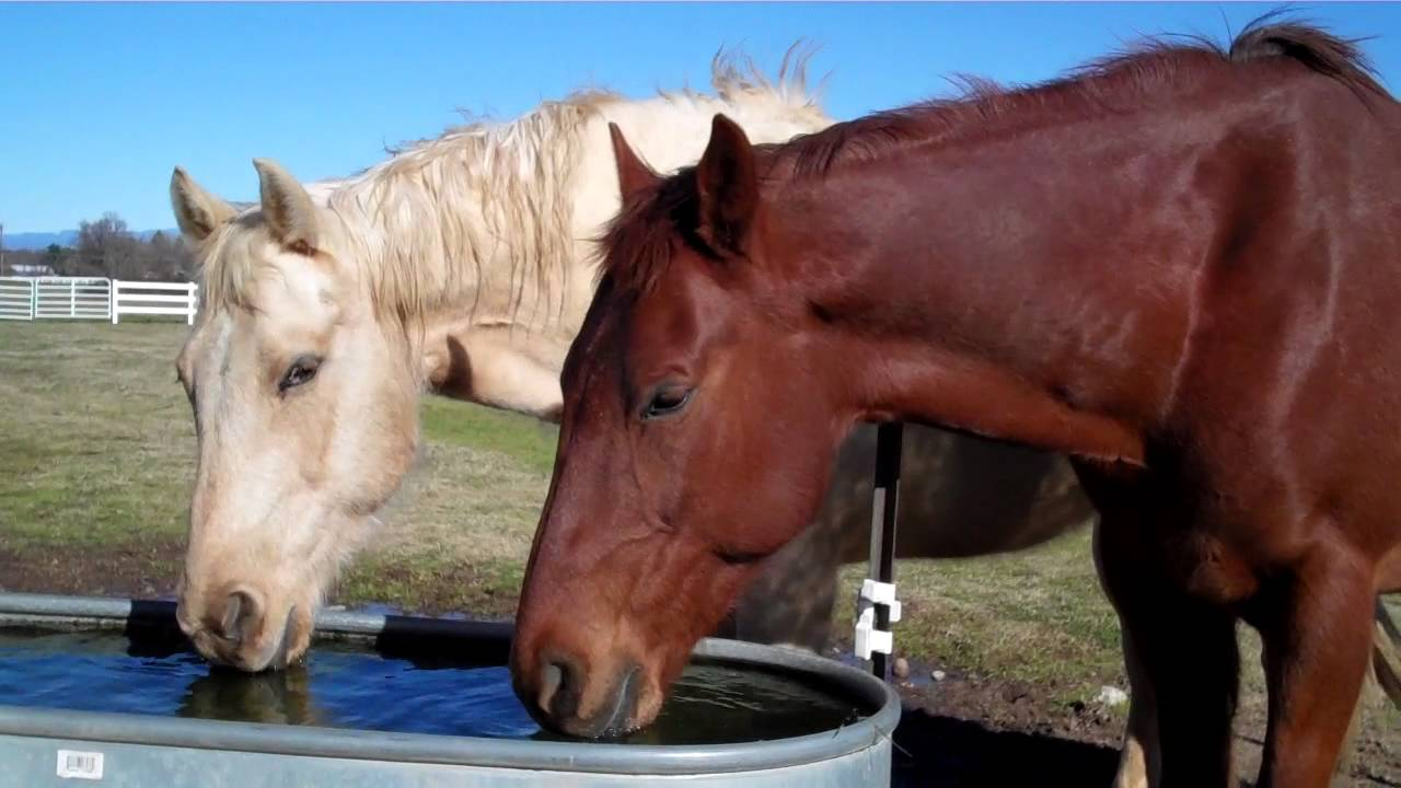 horses_drinking_water