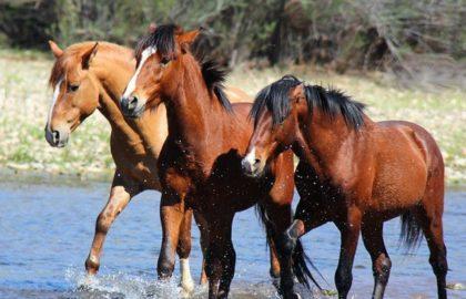 salt_river_wild_horses