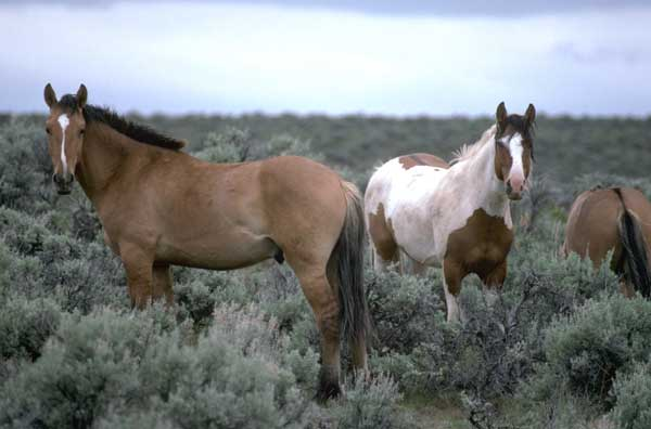 Bureau_of_Land_Management_horses