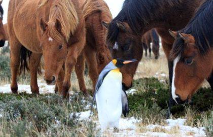 penguin-and-herd-of-horses