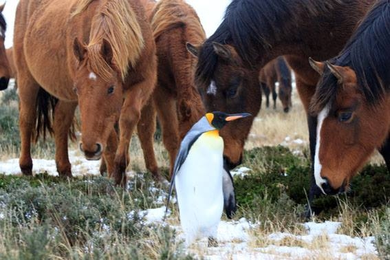 penguin-and-herd-of-horses