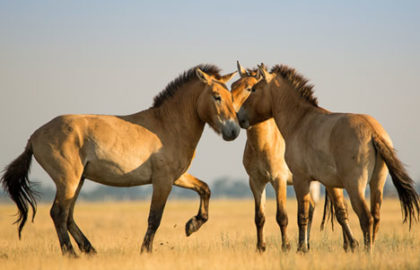 wild_horse_shutterstock_287561729_468