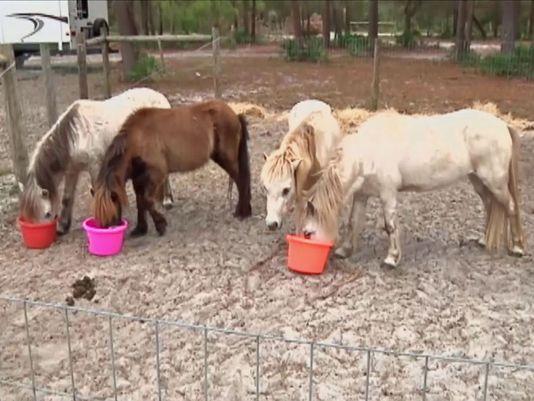 635865788303124855-Mini-horses