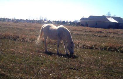 Arabian_gelding