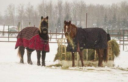 horses-eating-hay-in-snow