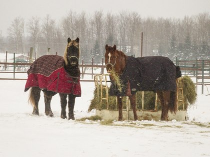 horses-eating-hay-in-snow