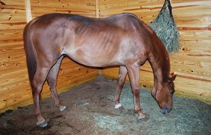 thin-horse-eating-hay-in-stall