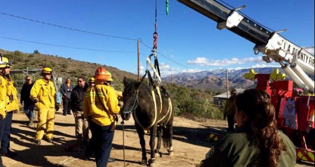 40-Year-Old Horse Rescued In Acton After Losing Ability To Stand Up