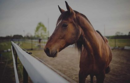 animal-brown-horse-1(1)