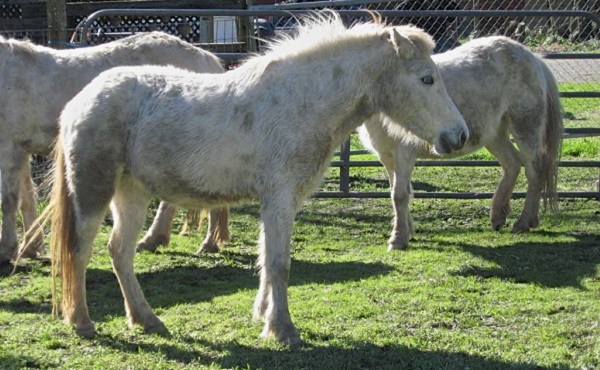 ukiah-wild-ponies