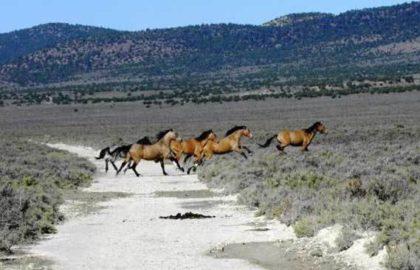 wild-horses-nevada-triple-b-hma
