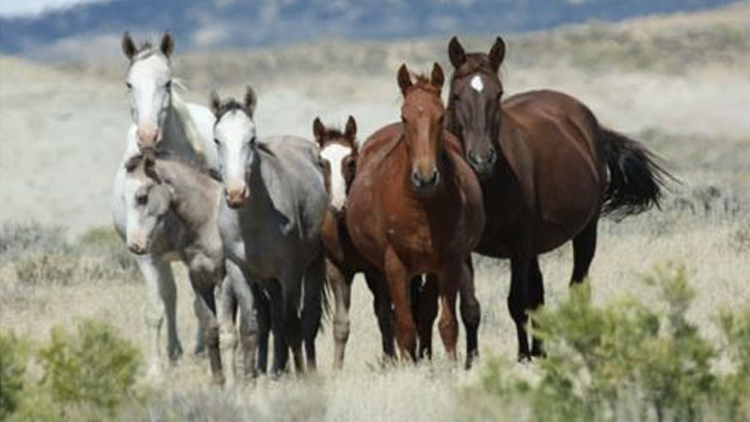 Horse, Immunocontraception, Horse Slaughter, Equine Protection