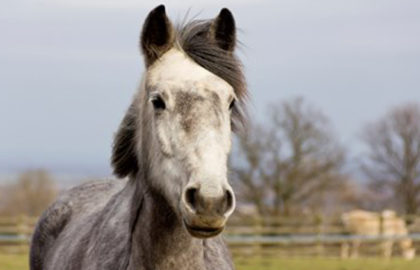 grey-horse