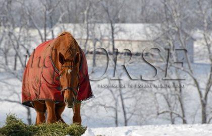 horse-eating-hay-in-snowy-field