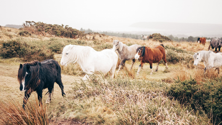 horseslantry
